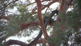 Picchio sul tronco di un pino stock footage