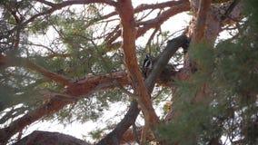 Picchio sul tronco di un pino archivi video