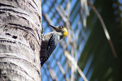Picchio in un palmtree Immagine Stock Libera da Diritti