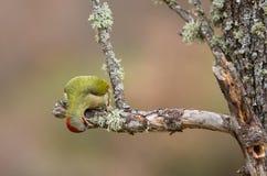 Picchio verde Fotografia Stock