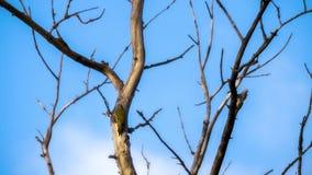 Picchio verde dai capelli grigi Immagine Stock