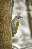 Picchio verde nella foresta di inverno. Immagini Stock Libere da Diritti