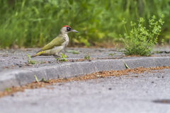 Picchio verde (viridis del Picus) Fotografia Stock