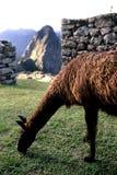 picchu del Perù di machu dell'alpaga Fotografia Stock