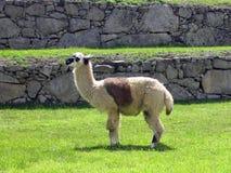 Picchu di Machu Fotografie Stock Libere da Diritti