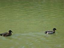 Piccioncini che nuotano nello stagno Fotografia Stock Libera da Diritti
