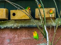 Piccioncini di Fischers nei pappagalli nani variopinti e vibranti dell'uccelliera, animali domestici popolari in avicoltura fotografie stock libere da diritti