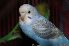Piccioncino blu di piccioncino bello e bianco che esamina macchina fotografica 1 Immagini Stock