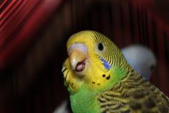 Piccioncino giallo di piccioncino bello e verde che esamina macchina fotografica Immagini Stock