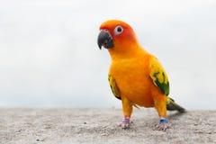 Piccioncino verde del pappagallo Immagini Stock Libere da Diritti