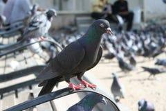 piccione Immagine Stock Libera da Diritti