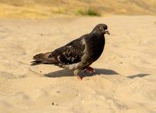 Piccione affamato che cammina sulla spiaggia fotografia stock