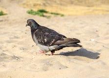 Piccione affamato che cammina sulla spiaggia fotografia stock libera da diritti