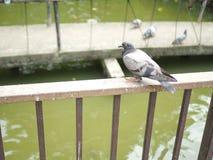 Piccione affamato che guarda la gente che porta l'alimento del ` s dell'uccello immagine stock