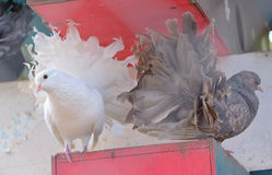Piccione bianco e marrone Fotografia Stock