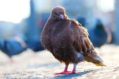 Piccione bruno-rossastro giovanile che si siede sulla pavimentazione davanti ad una scena urbana confusa al tramonto nel berl Fotografia Stock