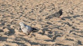 Piccione che cammina sulla sabbia della spiaggia Immagini Stock