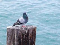 Piccione che gode della vista su un accatastamento alla spiaggia della guarnizione, California immagine stock