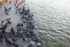 Piccione che mangia alimento nell'acqua fotografia stock