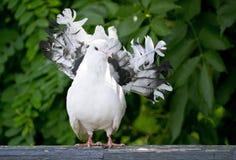 piccione che si siede su una perchia di legno Fotografia Stock Libera da Diritti