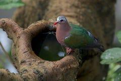 Piccione con le ali verdi che beve dall'albero Fotografie Stock