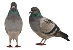 Piccione della colomba isolato Fotografie Stock Libere da Diritti