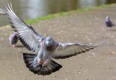 Piccione di atterraggio nel parco m. fotografie stock libere da diritti