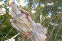 Piccione di bianco della colomba del purosangue Fotografia Stock Libera da Diritti