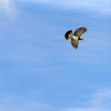 Piccione di volo Fotografia Stock
