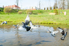 Piccione di volo sopra il fiume Immagini Stock Libere da Diritti