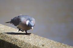 Piccione Ducking Fotografia Stock