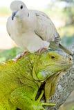 Piccione e iguana Immagine Stock