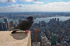 Piccione e New York City immagine stock libera da diritti
