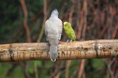 Piccione e pappagallino ondulato crestati Fotografia Stock