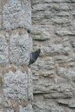 Piccione e parete medievale Immagini Stock