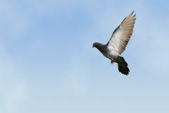 Piccione grigio durante il volo Fotografia Stock Libera da Diritti