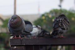 Piccione grigio nella mattina dell'inverno Fotografie Stock Libere da Diritti