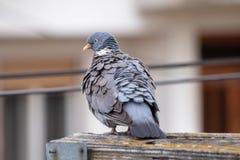 Piccione grigio selvaggio fotografia stock