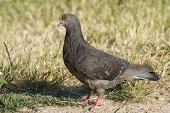 Piccione - il piccione selvatico blu Fotografie Stock