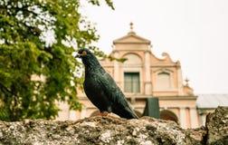 Piccione inquisitore Uccello urbano fotografie stock libere da diritti