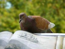 Piccione-lettore Immagine Stock