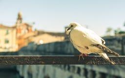 Piccione nel vecchio centro urbano di Rimini immagini stock