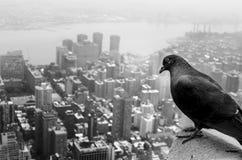 Piccione a New York fotografie stock