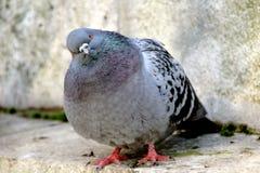 Piccione, primo piano su un piccione fotografia stock