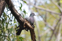 Piccione selvatico del piccione selvatico Immagine Stock Libera da Diritti