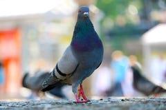 Piccione selvatico o colomba selvaggio che cammina sulla pavimentazione davanti ad una scena urbana confusa a Berlino Immagine Stock