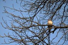 Piccione solo sull'albero Fotografia Stock