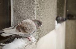 Piccione stanco nella neve Immagini Stock Libere da Diritti