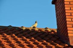 Piccione sul tetto Immagini Stock Libere da Diritti