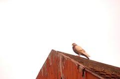 Piccione sul tetto immagine stock
